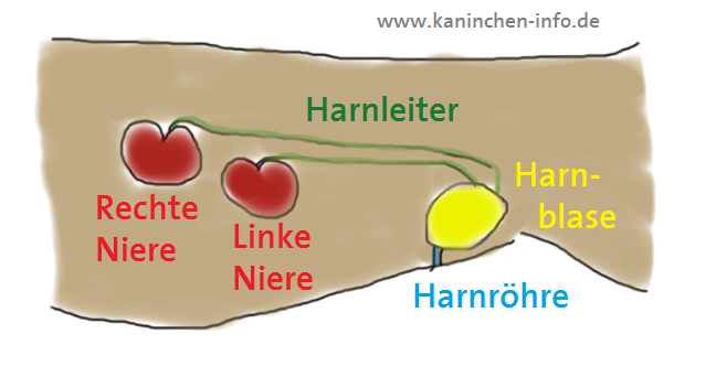Kaninchen Info, Anatomie, Niere und Leber