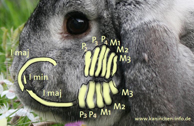 Kaninchen Info, Anatomie, Gebiss